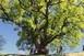 Akár a szebényi Nagy Fa is lehet az év fája, jelenleg 6. a versenyben - Szavazzunk!