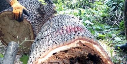 Kizárólag a beteg fákat vágják ki a félmilliárd forintból megújuló Szepessy parkban