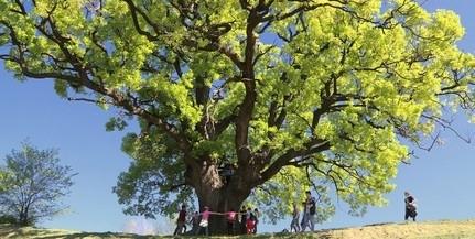 Döntős a szebényi Nagy Fa Az Év Fája versenyben