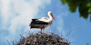 Idén nyáron utoljára eredhetünk a gólyák nyomába