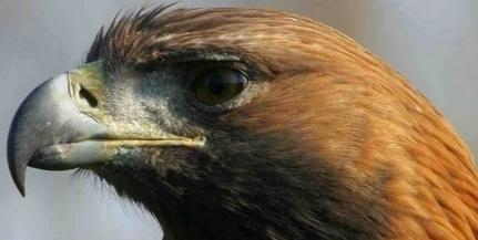 Megszámlálták a rétisasokat: Baranyában negyvennyolc példányt figyeltek meg