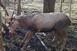Hurokba szorult szarvasbikát mentettek meg egy baranyai erdőben - Kétszer is