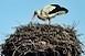 Megszámlálják a gólyákat Baranyában: szinte biztosan többen vannak, mint tavaly