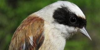 Több mint háromszáz madarat gyűrűztek meg Dávodon