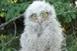 Imádják a füleskuvikok Babarcot, idén négy fészket laknak