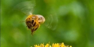 Méhzárlatot rendeltek el Mohácson és környékén
