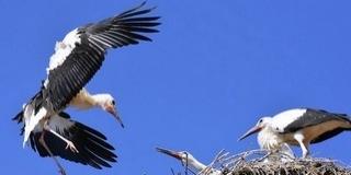 A klímaváltozás hatására egyre több gólya marad itthon, megpróbálkoznak az átteleléssel