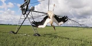 Szerencsétlenül járt gólyát mentettek meg Sátorhely határában a madárbarátok