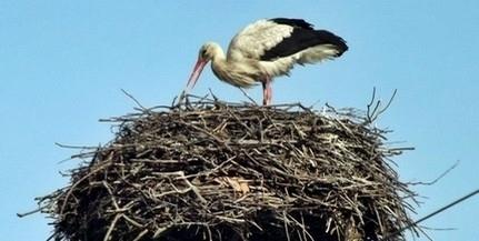 Az időjárási körülmények dacára sem csökkent lényegesen a gólyák száma Baranyában