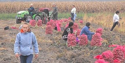 Ma befejezik a burgonya fölszedését a szigeti kertészetben