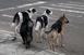 Kutyainvázió Véménden: az utcákon járkálnak, csirkékre vadásznak és féktelenül szaporodnak