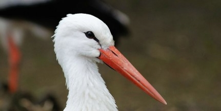 Százkilencven gólyapár költött idén a megyében, a legtöbb Kölkeden és Mohácson