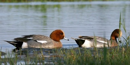 Gyalogtúrán vehetjük szemügyre a Dunán telelő madarakat