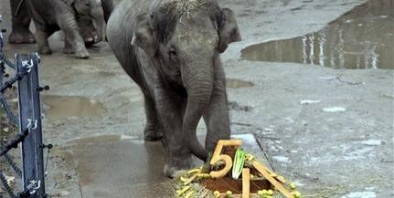 Ötéves lett Asha, a fővárosi állatkert elefántja