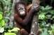 Mészárlás: több mint százezer orangutánt öltek meg Borneón