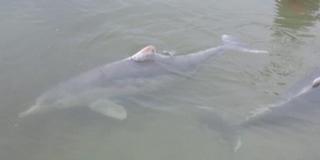 A kihalás vesélyezteti az ausztráliai púposdelfineket