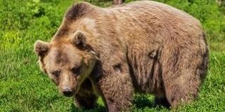 Medve sebesített meg egy magyar vadászt Székelyföldön