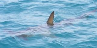 Ismét cápát láttak az Adriában, ezúttal Makarska partjainál bukkant fel - Videó!