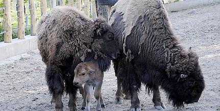 Belehúzott Brutus és Avarka: megszületett a bölénypár hatodik közös borja is