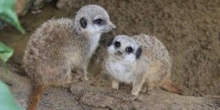 Elnevezték a legifjabb szurikátákat a Pécsi Állatkertben