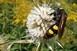Óriási méretű, ritkán látott darazsak okoznak riadalmat a baranyai parkokban