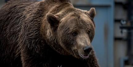 Száznegyven medve kilövését engedélyezték Erdélyben