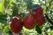Fele annyi alma terem idén, mint tavaly, drágább lesz