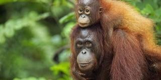 Emberszerű hangadásra képesek az orangutánok