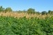 Pontosan 1111 tő vadkendert találtak egy kukoricásban