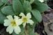 Egy kis tavasz: már virágzik a szártalan kankalin