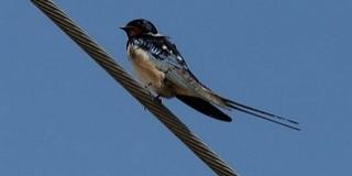 Az eddig véltnél sokkal gyorsabban tűnnek el madárfajok
