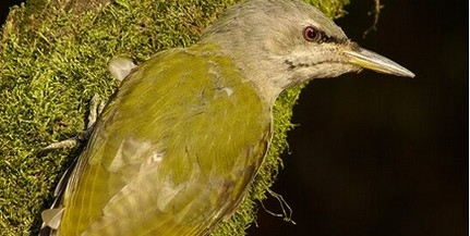 Hangosak a baranyai erdők a visszatérő madaraktól