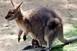Pécsett született kengurukat költöztettek a debreceni állatkertbe