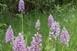 Csodálatosan virágoznak az orchideák a Dráva mentén