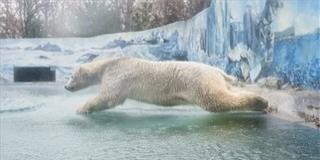 A jegesmedvék vesztét okozhatja a klímaváltozás
