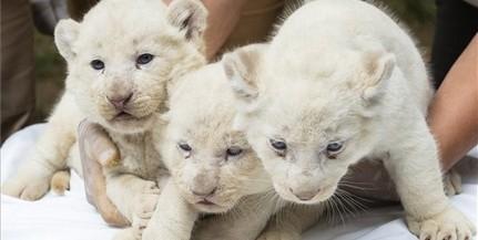 Három fehér oroszlán született a Nyíregyházi Állatparkban