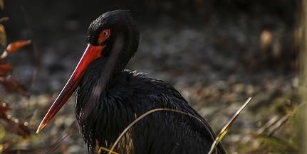 Sajnos egyre kevesebb fekete gólya költ a megyében