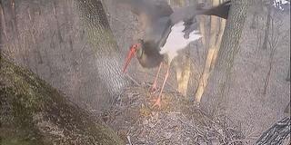 Megérkezett az első fekete gólya a Gemenci erdőbe