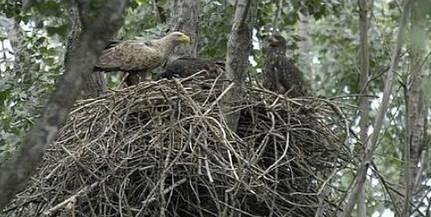 Jóval kevesebb sasfióka repült ki idén a baranyai fészkekből, mint egy éve