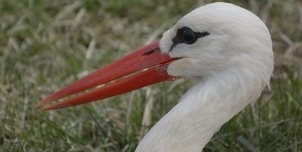 Összekaptak a fészkeken a késve hazatérő gólyák