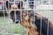 Pécsi kutyatenyésztő ellen emelt vádat az ügyészség állatkínzás miatt