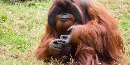 Elpusztult Chantek, a jelnyelvet használó orangután