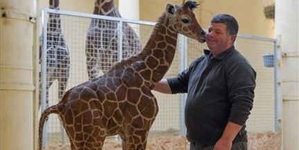 Már a nagyközönség is láthatja a debreceni zsiráfcsikót